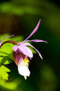 the editorial shot - Fairy Slipper orchid, a rare delight!