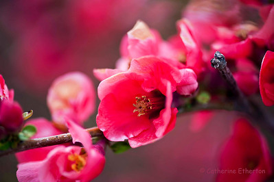 Flowering Quince - Belmar