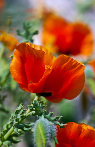 Poppies in the evening light - part of the alpine garden