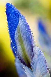 buds of beauty, bearded iris in dew
