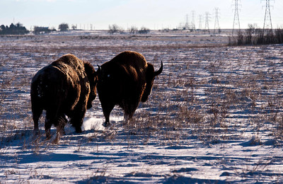 The bad boys of the bison herd.