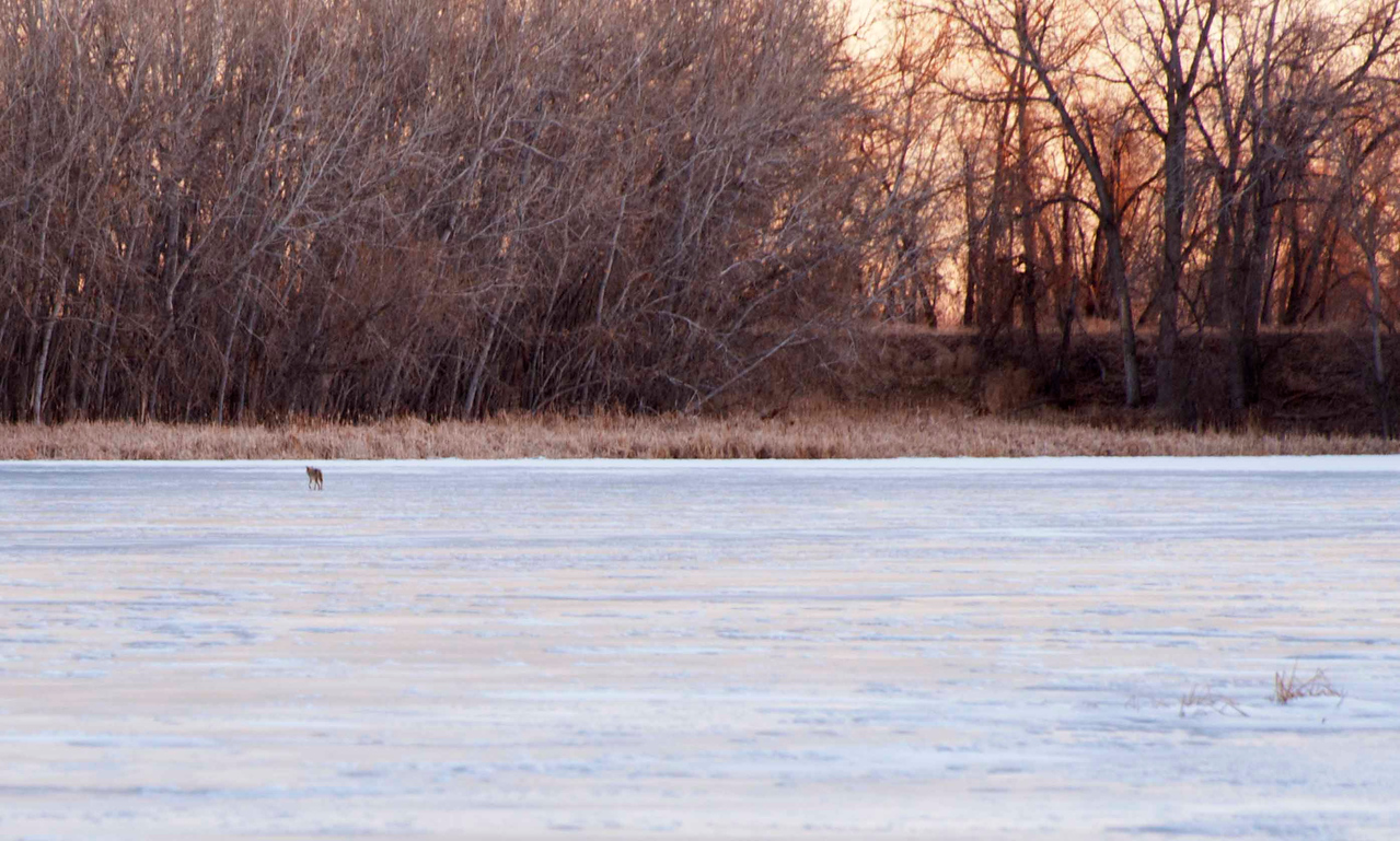 Far far away - a coyote crossing a frozen pond.  I was treated to a coyote serenade at sunrise, in stereo.  Awesome!