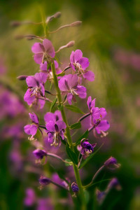 fireweed prolific this summer, especially in the areas of the Summit County forests that have been cleared of beetle kill pine