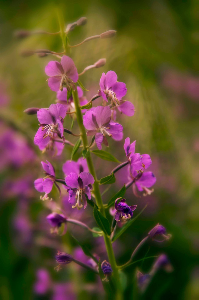 fireweed<br /> prolific this summer, especially in the areas of the Summit County forests that have been cleared of beetle kill pine