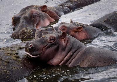 Hippo Grunge