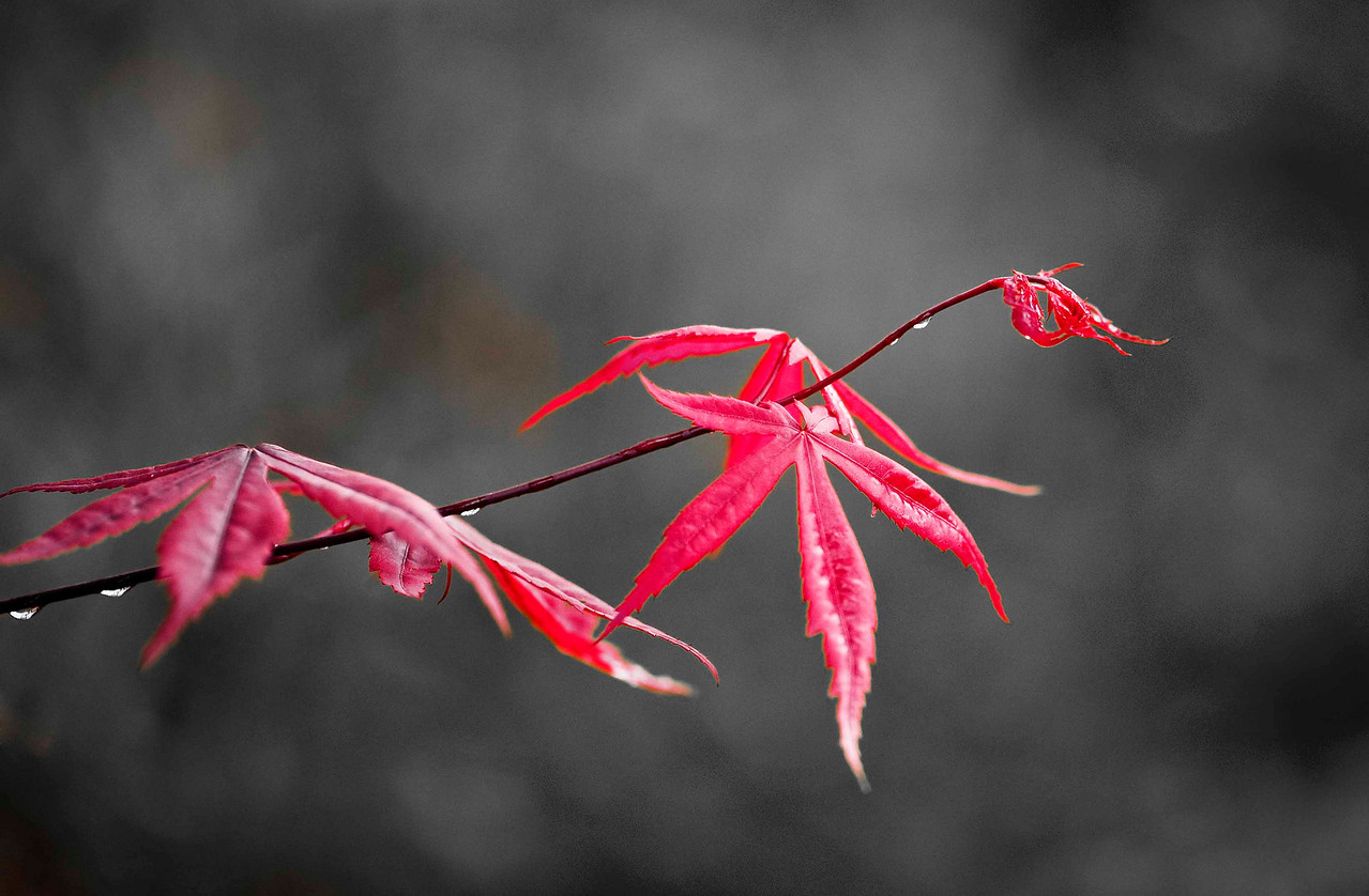 Japanese Red Maple 2