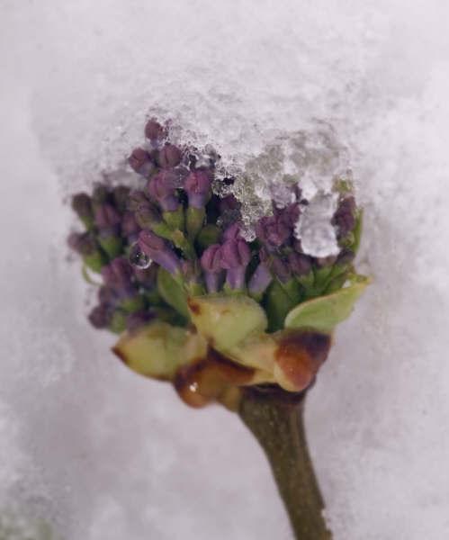 Snowy lilac