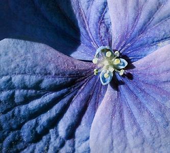 Hydrangea Blues