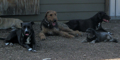 Monty, Hondo, Elsha and Parker     a few big dogs