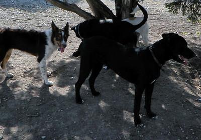 shade tree pups