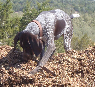 Buster so busy on the woodchip pile