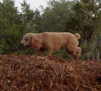 Schmapes on the woodchip pile