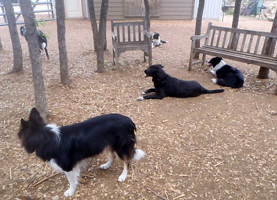 just a few border collies