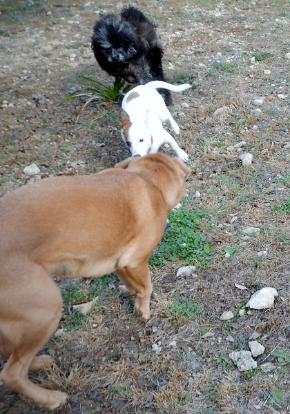 Bella A showing off he big dog moves to Ivy and Tessa