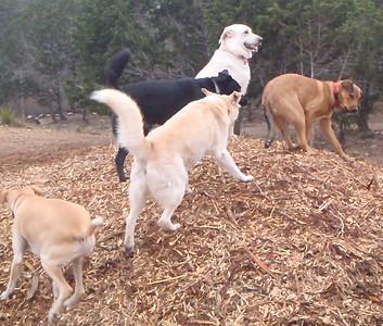 Cicero, Jack S, Ellie S, Bella R and Spartacus_woodchip pile fun