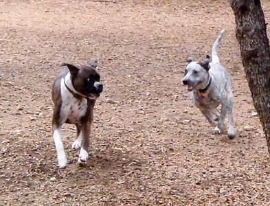 Budra chasing down Coco