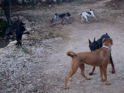 Hattie in flight, Jasmine, Buster, Harvey, Ruby and Elvis - the chase is on