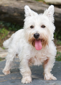 Who's the prettiest Westie at the park?