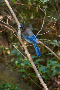 Ahhh - the great blue bird (Steller's Jay?) - he tried to dodge my camera but I got him despite his best efforts