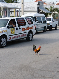 This wasn't an isolated incident.  Chickens are protected under Key West law and they know it.  We saw a chicken bring traffic to a halt on more than one occasion.