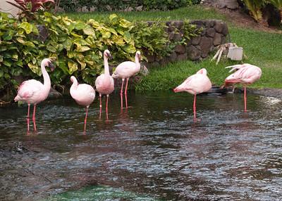 For whatever reason, Hilton Hawaiin Village has flamingos