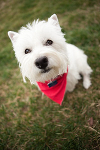wide angle westie