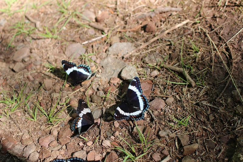 Wildlife Honorable Mention. Sunbathing Butterflies-As my family and I were leaving the Conglomerate Falls, I was very surprised and happy see these butterflies basking in the sun.
