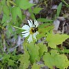 Queen Bee -  As my family and I hiked to the Conglomerate Falls, I found this cute bumblebee on a daisy and it made me laugh and smile.  :)