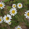 Flower Power -  As my family and I hiked to the Conglomerate Falls, I found these pretty daisies and they made me smile.