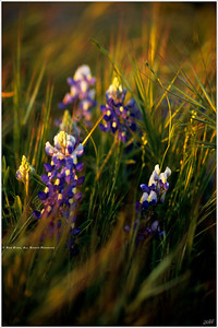 """Bluebonnets in High Grass"""