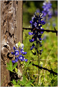 """Bluebonnets & Barbed Wire"" Driving through the Texas Hill Country, we stopped at an unmarked crossroads with an abundance of wildflowers trailing off  in every direction. The old fence post and rusting barbed wire played well against the emerging bluebonnets, in a scene that is replicated every spring over thousands of miles of Texas backroads and millions of decaying fence posts."