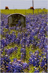 """Resting Place"" A marker rests in a sea of bluebonnets protected from the grazing cattle by a simple wire fence. Small ancestral burial grounds, like this one in the Texas Hill Country, get blanketed each spring by colorful wildflowers that paint the grounds with a little bit of heaven."