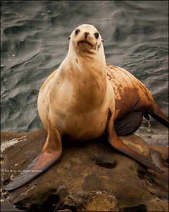 """Wolf Blitzer's got nothing on me..."" Scenes from around La Jolla, California. Sea Lion Vogue - Strike A Pose."