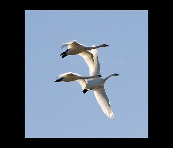 Prices Creek Snow Geese