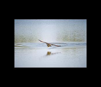 Prices Creek Osprey catch