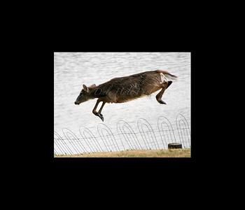 Prices Creek Jumping Deer