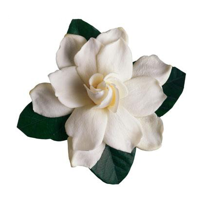"<font size=""4"">  Gardenia: joy  </font><br><br>  Sweet Pea plus<br> 12-5x7's<br> 12-8x10's<br> <br> $950<br>  <br>"