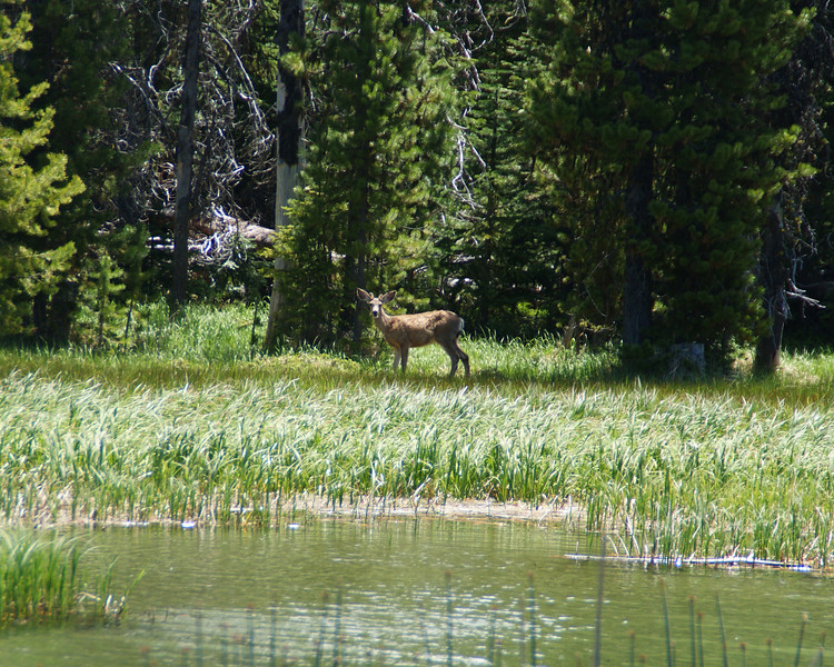 Deer - Little Lave Lake