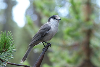 Bird - Little Cultus Lake Campground