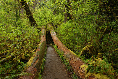 Hon Rain Forest... Olympic National Park