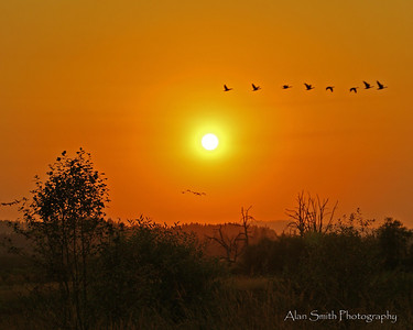 Geese over Tualatin Wildlife Refuge....Summer Sunset
