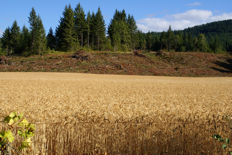 Wheat Field - Yamhill County