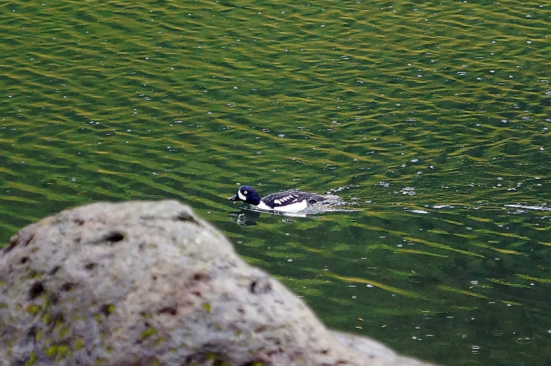 Water fowl at Lake Harriet - Clackamas Recreational Area