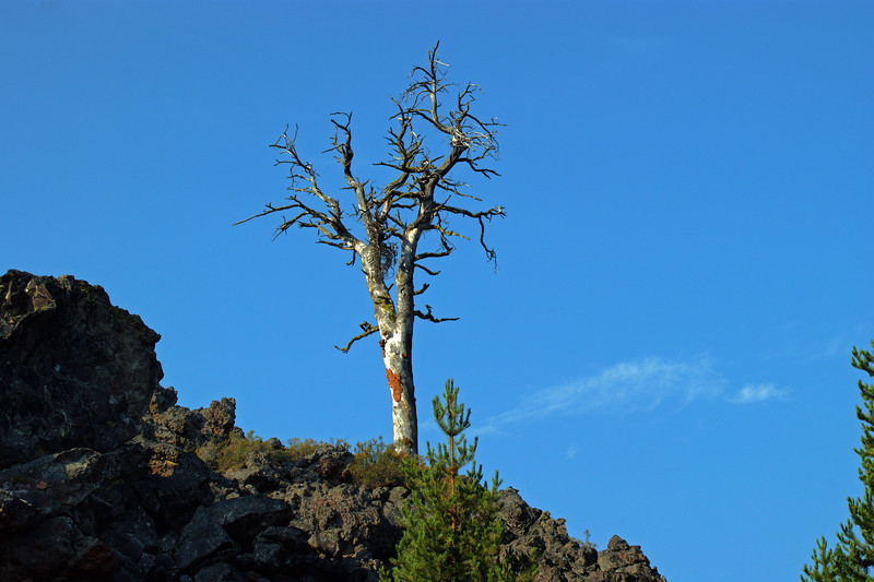 Lone tree in lava beds in Central Oregon Cascades off of Highway 58.