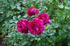 Rose Garden - Portland OR
