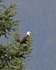 Bald Eagle,  Juneau AK