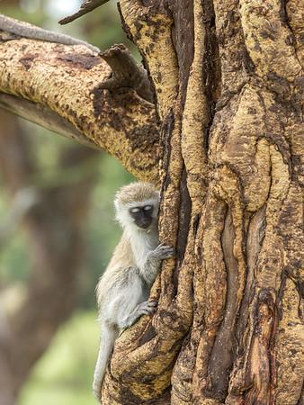 Vervet baby monkey
