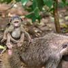 Baby on Board 2 - Baboon