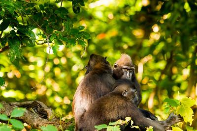 Celebes crested macaque / black macaque (Macaca nigra), Tangkoko, Sulawesi, Indonesia
