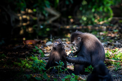 Celebes crested macaque / black macaque (Macaca nigra), Tangkoko, Sulawesi, Indonesia. Adult female grooming a young macaque,